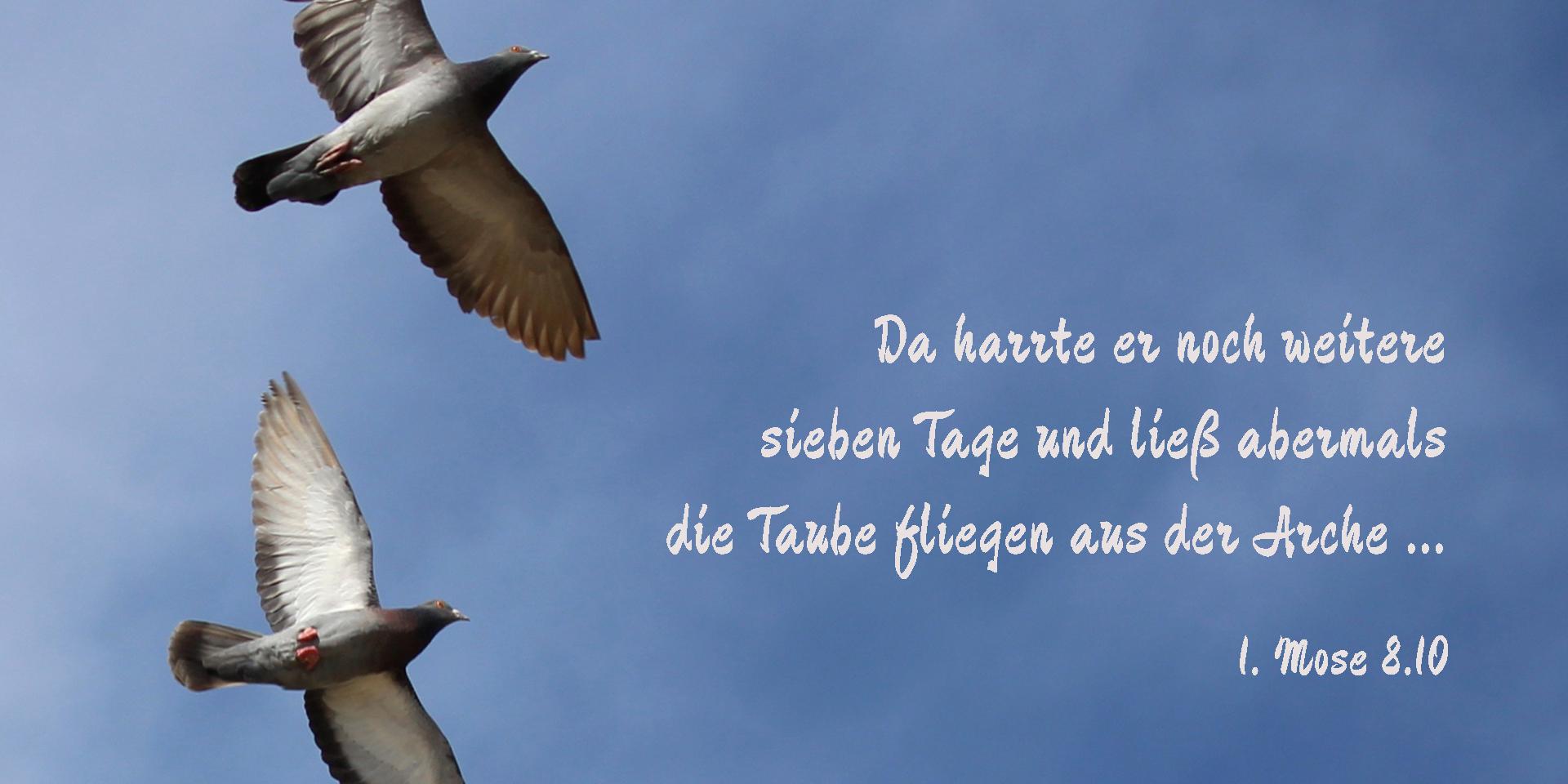 Fliegende Tauben, 1. Mose 8,10,© pixabay